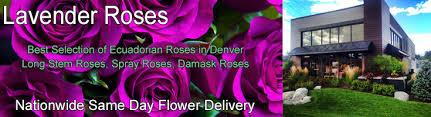 Lavender Roses Lavender Roses Long Stem Lavender Roses Lavender Rose