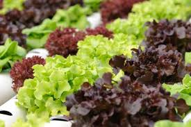 hydroponic vegetable gardening indoors lovetoknow
