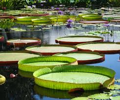 native pond plants victoria cruziana aka santa cruz waterlily native to paraguay and