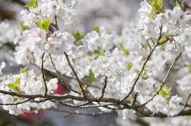 prunus umineko japanese flowering cherry
