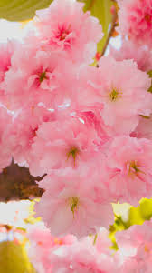 cherry blossomsamsung wallpaper download free samsung wallpapers