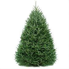 balsam fir christmas tree fraser fir christmas tree evergreen delivery boston christmas