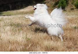 american eskimo dog forum eskimo dog stock photos u0026 eskimo dog stock images alamy