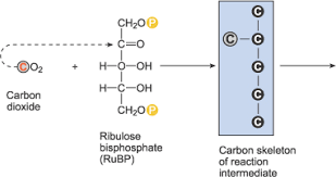 Light Independent Reactions Definition Chemistry For Biologists Photosynthesis