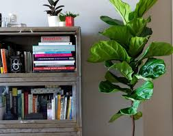 plant ficus tree awesome fake floor plants top 5 indoor plants