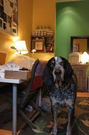 bluetick coonhound florida i found abner on winter park sweet and li u0027l abner