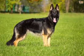 belgian shepherd exercise requirements belgian malinois shepherd dog temperament and handling pets4homes