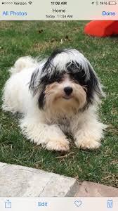affenpinscher in orlando fl i found jamal adopted on havanese dogs puppy mill and dog