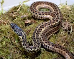 virginia living museum identifying common snakes