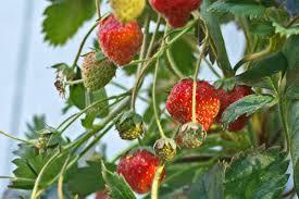diy hydroponic strawberry tower