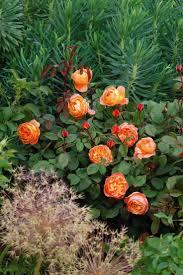 177 best so many roses so little time images on pinterest david