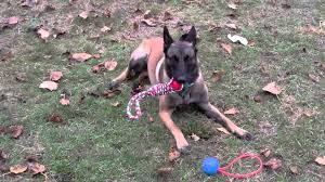 belgian shepherd malinois rescue daly woof project rescue belgian malinois youtube