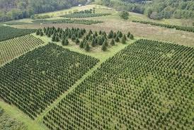 nationwide christmas tree shortage