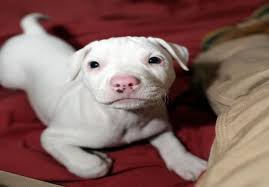 american pitbull terrier white with black spots 5 reasons why you should get white pit bull u2022 americanbullydaily com