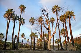 Wildfire Gospel Song by Burned Palm Trees And Miracles The Great Fire Of Thermal Ca Kcet