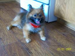 australian shepherd pomeranian mix puppies german shepherd and pomeranian mix australian my new dream