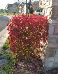 Flowering Shrubs That Like Full Sun - selecting shrubs for minnesota landscape umn extension