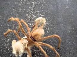Spider Dog Halloween Costume Joey Spider Dog Costume Draft 1