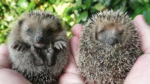 how do i get rid of hedgehogs reference com