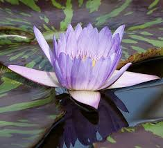 Purple Lillies Tropical Water Lilies Hardy Water Lilies Available