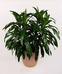 Fragrant Indoor Plants Low Light - plants u0026 flowers happy plant