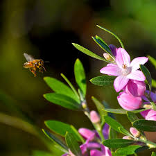 australian native plant names eriostemon australasius and bee common name pink wax flower in