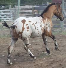470 best appaloosa images on pinterest appaloosa horses