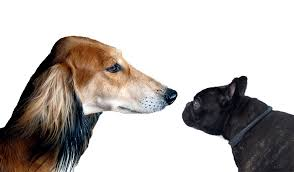 affenpinscher vs brussels griffon a dog u0027s size and head shape predicts its behavior psychology today