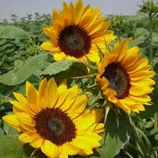 sunflower pictures sunflower gold f1 harris seeds
