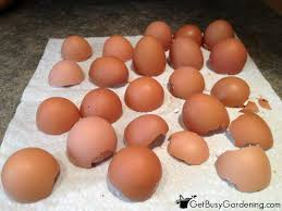 ground eggshells eggshells as organic pest
