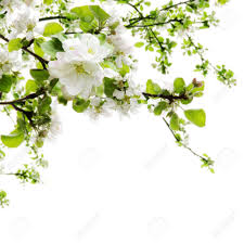 apple tree blooming branches border white stock photo