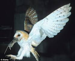 What Does A Barn Owl Look Like In Thrall To The White Ghost The Beautiful But Deadly Barn Owl