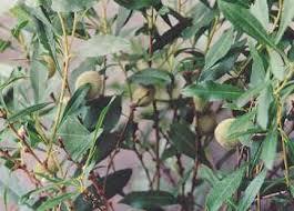 spice pages almond prunus dulcis