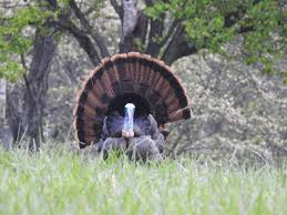 many reasons to admire america u0027s wild turkey features