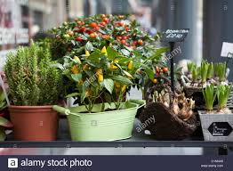 ornamental capsicum plants in pot in flower shop stock