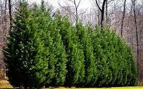 fast growing tree information ilex farms nursery