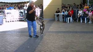 belgian shepherd for sale philippines obedience dog philippines youtube