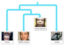 bbc gcse bitesize evolution of humans