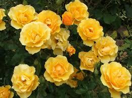 Golden Roses Golden Tribute Rose