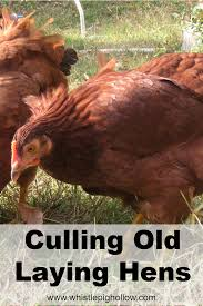 culling old laying hens whistle pig hollow homestead chickens