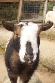 nigerian dwarf goat oregon zoo