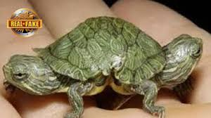 turtle with two heads real or fake youtube