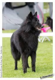 belgian sheepdog groenendael puppies 136 best pieseł images on pinterest belgian shepherd animals