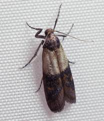 Tiny Moths In My Bathroom Indian Mealmoth Wikipedia
