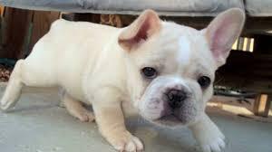 French Bulldog Meme - funny french bulldog and tricks compilation 2017 youtube