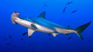 hammerhead shark hd wallpapers for laptop widescreen free download