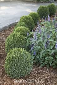 Small Shrubs For Front Yard - best 25 dwarf boxwood ideas on pinterest dwarf english boxwood