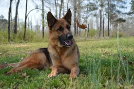 belgian sheepdog vs german shepherd 10 ways to keep your german shepherd dog healthy american kennel