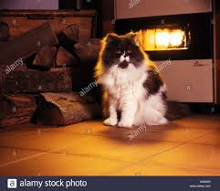 persian cat in front of fireplace stock photo royalty free image