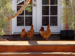 Chicken Backyard by How We Got Backyard Chickens Chapter 1 U2013 Good Dinner Mom